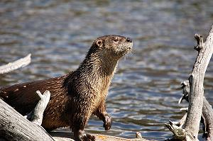 Applicaton otter image